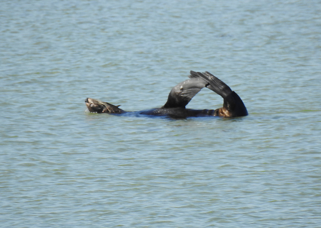 South Australian wildlife, South Australian tourism, Wildlife photography Wildlife stories, Grange, Grange jetty, seal