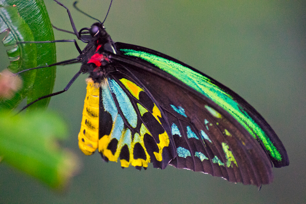 tropical, butterfly, bright, colourful, insect, closeup