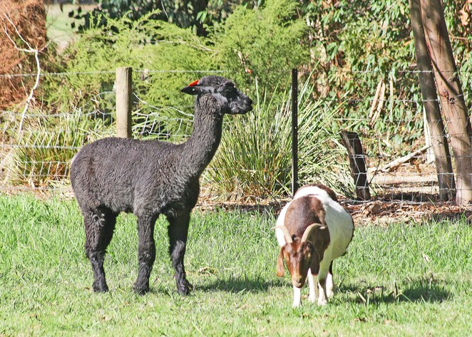 Alpaca and goat