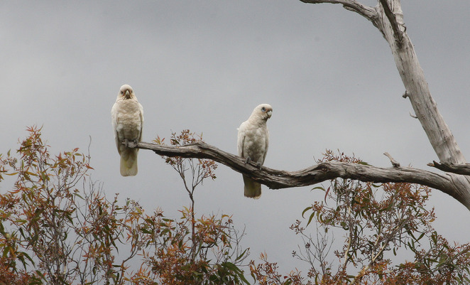 corellas in tree