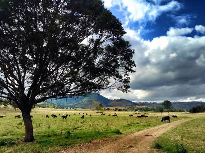 cows, trees, scenic route, driving, Boonah, Killarney, Queen Mary Falls, The Falls