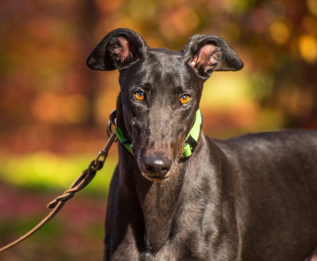 Greyhound,Adoptions