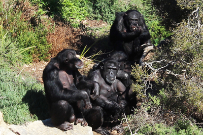 chimps monarto zoo