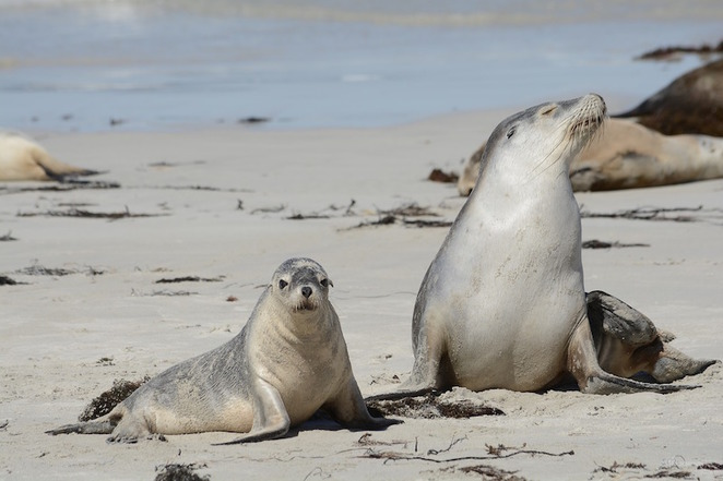 kangaroo island tours seals wildlife