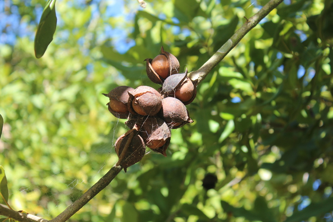 Medowie Macadamias, Plantation, Williamtown, Medowie, Nelson Bay, Port Stephens