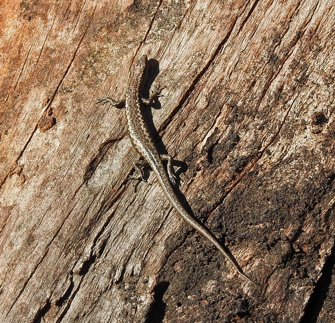 South Australian wildlife, South Australian tourism, Wildlife photography Wildlife stories, Red House Cafe, SA golf courses, wall skink