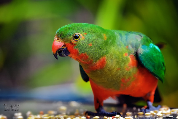 Tracie Louise, King Parrot, young, green, red, parrot, lorikeet, beautiful, bird, nature, wildlife,