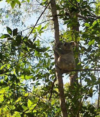 koala in the wild at Daisy Hill Conservation Park