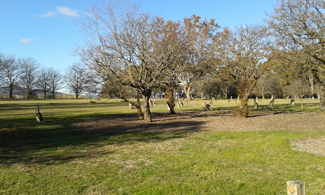 kangaroos at Weston Park, Canberra, BBQ areas, picnic areas, canberra