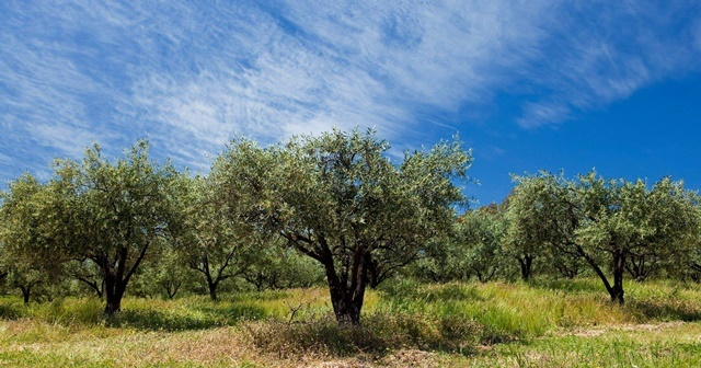 olive,trees,at,Avoca
