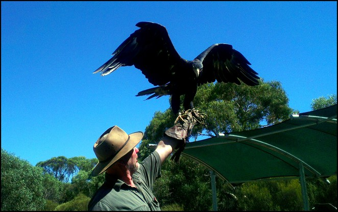 raptor domain, wedge tail eagle, kangaroo island, seal bay, birds of prey