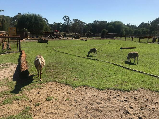 swan valley cuddly animal farm, the feed shed cafe, cafes in the swan valley, new cafes in perth, swan valley cafe, things to do in the swan valley, kids day out