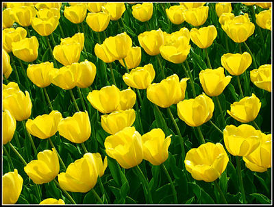 yellow tulips, the meaning of flowers, valentines day