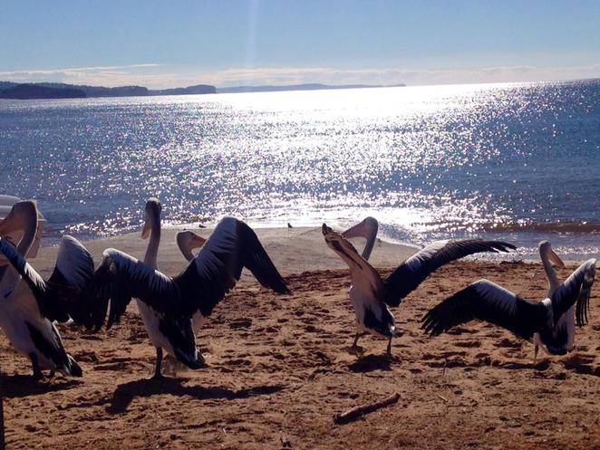 Fisherman's Beach,Pelicans,Long Reef Headland Walk, Long Reef Coastal Walk, Walks, Northern Beaches,