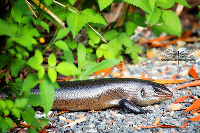 land mullet, reptile, skink, wildlife, nature, Springbrook, Tracie Louise,