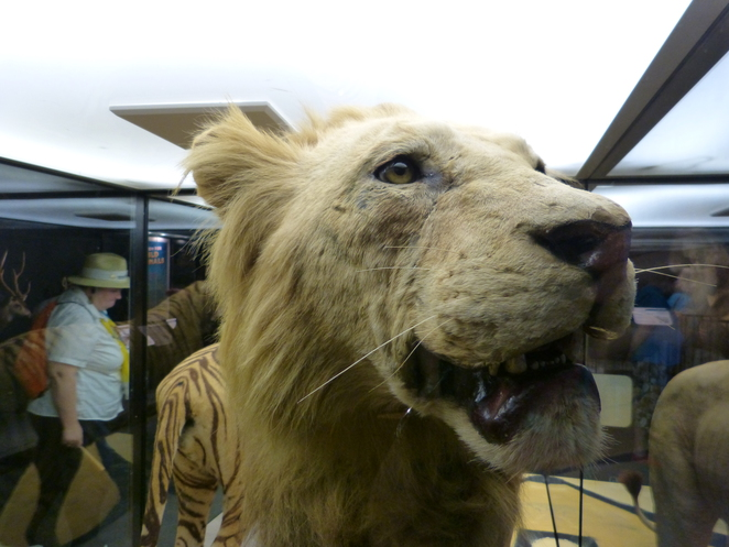 Lion, taxidermy, a room for the wild animals