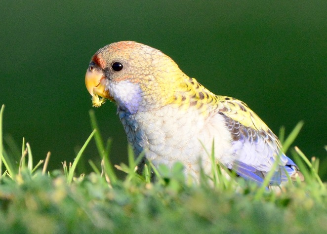 A pale headed rosella enjoying seeds from an unmown lawn