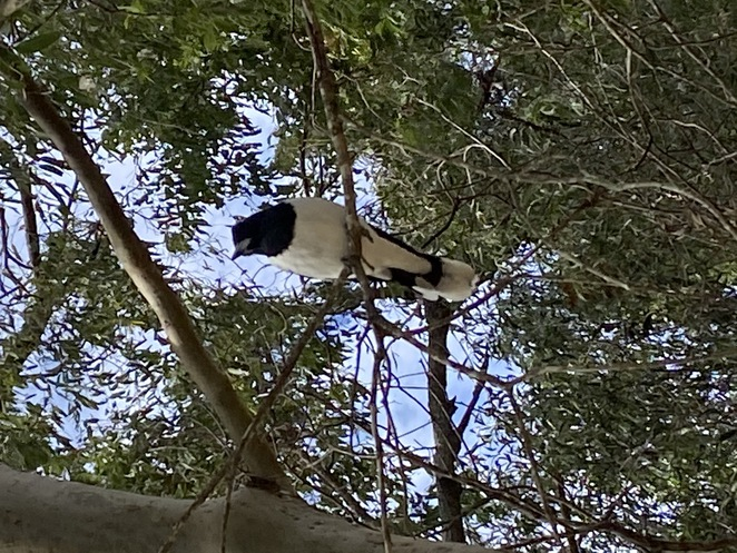 A pied butcher bird looking down on me