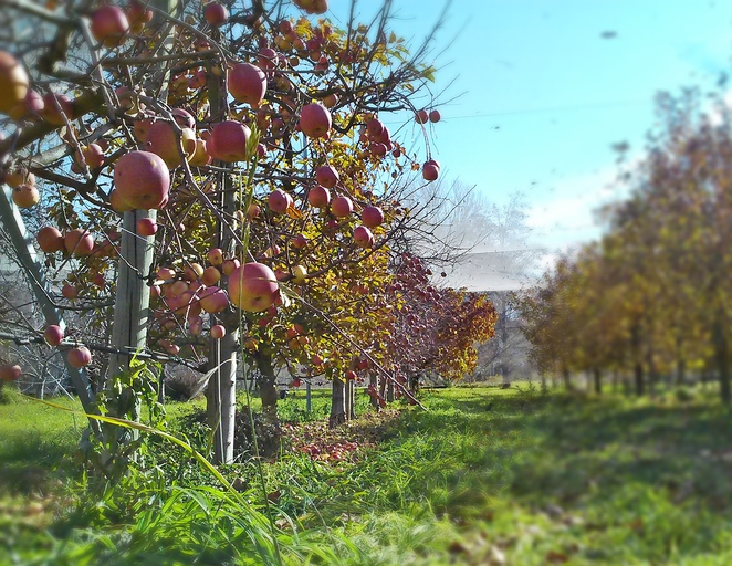 beltana grange orchard, apples, canberra, pialligo, farms, canberra airport, ACT