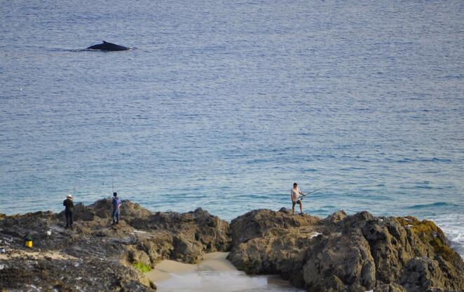 A humpback whale passing fishermen on Snapper Rocks beneath Point Danger