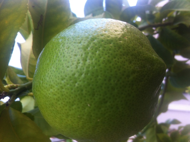lemon, lime, citrus, growing, ripe, tree, pick, fruit, ripenearme