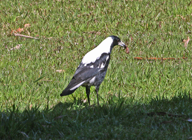 Magpie with worm.