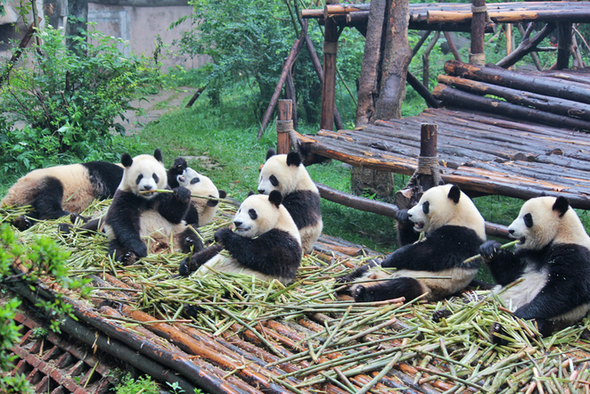 pandas, cute animals, chengdu panda base, pandas