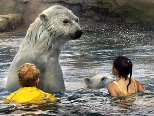 Polar bear plunge for Bears in swimming pool new jersey