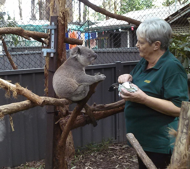 port macquarie koala hospital, port macquarie, NSW, tourist attraction, wildlife, koalas, kids, tourists, wildlife parks,