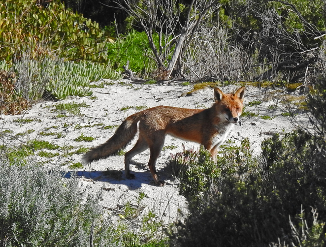South Australian wildlife, South Australian tourism, Wildlife photography Wildlife stories, beachfront Semaphore, Point Malcolm, red fox