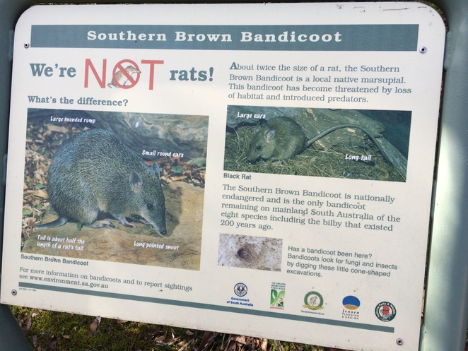 Southern Brown Bandicoots are not rats