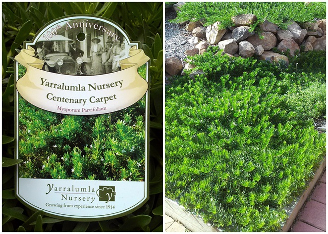 yarralumla nursery, canberra, plant nurseries, ACT, ground cover, carpet,