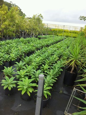 Rows and rows of agaves