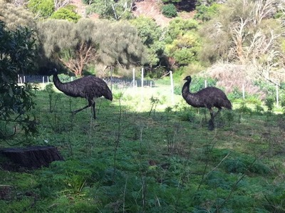 Emus at Tower Hill Extinct Volcano Reserve