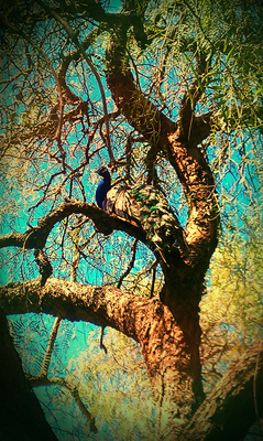 Peacock in the trees