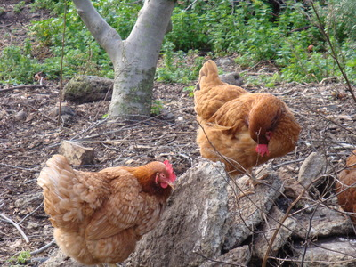 Chooks at CERES