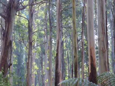 Forest near Ferntree Gully