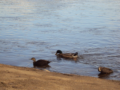 Ducks on the Murray River