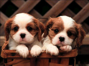 Puppies for Sale in Melbourne - Melbourne