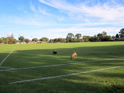 Dogs exercising on the rugby oval