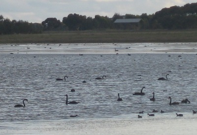 Black Swans at Lake Gnarpurt