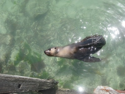 Seal at Warrnambool Breakwater