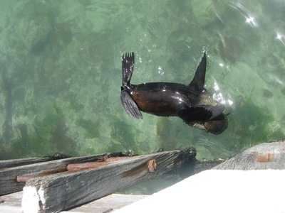 Seals in Warrnambool