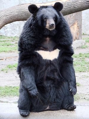 A Lovely Moon Bear