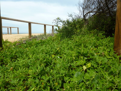 Warrigal greens at Curl Curl beach