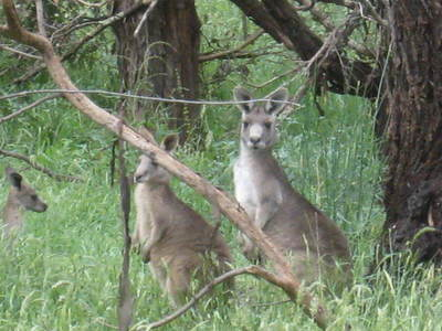 Kangaroos Beside the Track at Sugarloaf Reservoir Park