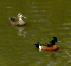 duck and water hen