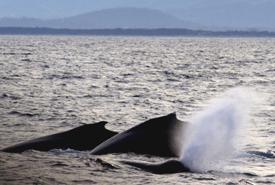 A Whales Blow