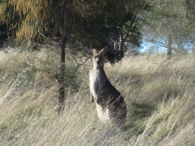 Kangaroo Encounter